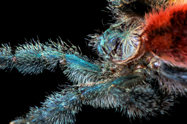 Avicularia variegata, adult female, legspan. (Photo by Michael Pankratz/Caters News Agency)