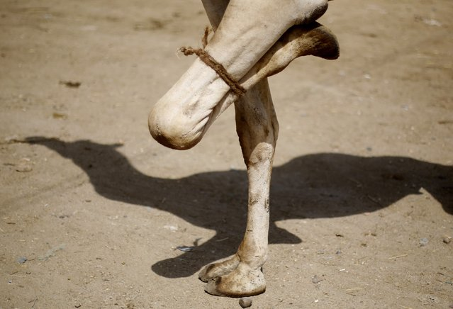 A camel, is seen with one of its leg tied, at the Birqash Camel Market, ahead of Eid al-Adha or Festival of Sacrifice, on the outskirts of Cairo September 29, 2014. (Photo by Amr Abdallah Dalsh/Reuters)