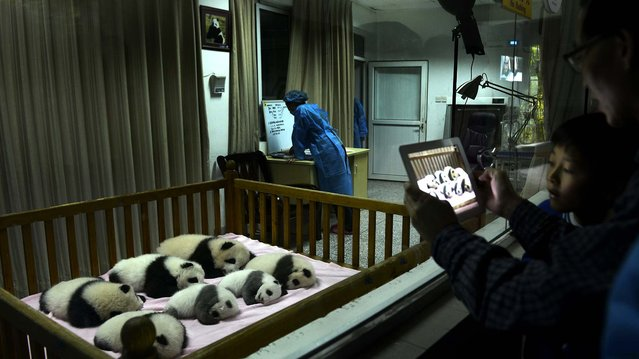 Visitors take photos of seven panda cubs, all born in 2012, through a window at the Chengdu Panda Base in Chengdu, in southwestern China's Sichuan province, October 30, 2012. (Photo by Associated Press)