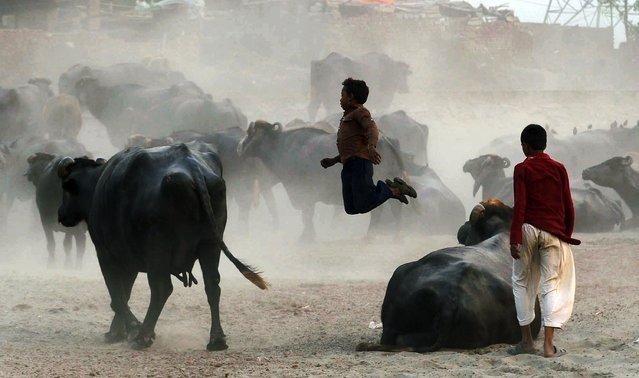 Pakistani residents play among buffalo on the outskirts of Lahore on October 13, 2014. Pakistan has a workforce of around 56 million people among a population of 186 million, according to Pakistan's official figures compiled by the Federal Bureau of Statistics. (Photo by Arif Ali/AFP Photo)