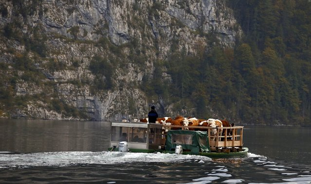 Bavarian farmers transport their cows on a boat over the picturesque Lake Koenigssee, Germany, October 3, 2015. (Photo by Michael Dalder/Reuters)