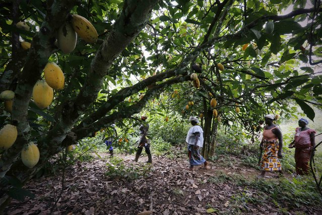 Women from a local cocoa farmers association called BLAYEYA walk in a cocoa farm in Djangobo, Niable in eastern Ivory Coast, November 17, 2014. (Photo by Thierry Gouegnon/Reuters)
