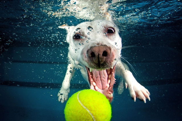 A Jack Russell Terrier cross Whippet swims for the tennis ball just out of reach. (Photo by Jonny Simpson-Lee/Caters News Agency)