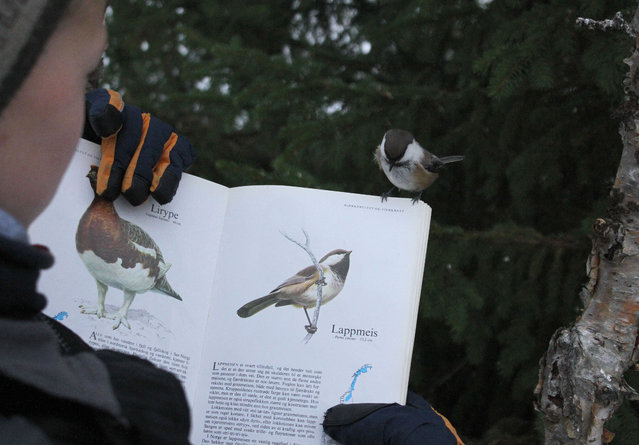 This inquisitive creature looks like hes sure that bird is the word – after appearing to be absorbed in a bird spotters guide. The tiny Lappmeisen bird – native to Norway – looks engrossed in the young twitchers book – and appears keen to read about himself. But the humorous picture is the clever work of Norwegian father and son Geir Arne and Skjalg-Helmer Vian – who spent hours setting up the shot. (Photo by Caters News)