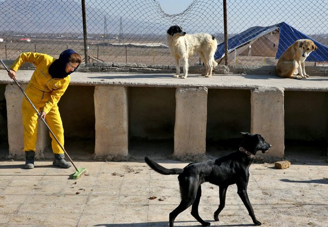 In this Friday, December 5, 2014 photo, Iranian volunteer Roya Ahmadi cleans dogs cages at the Vafa Animal Shelter in the city of Hashtgerd 43 miles (73 kilometers) west of the capital Tehran, Iran. (Photo by Vahid Salemi/AP Photo)