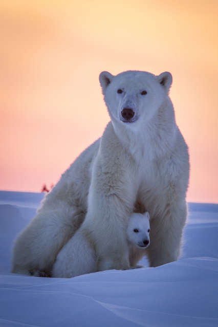 A Polar bear with its cub against a gorgeous sunset. (Photo by David Jenkins/Caters News)