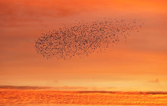 Starlings fly at sunrise in Brighton, Britain, November 11, 2020. (Photo by Peter Cziborra/Reuters)