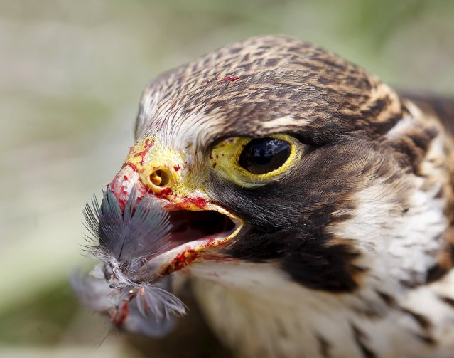 A Peregrin Falcon is pictured at the Mariscal Sucre Airport in Quito November 14, 2015. (Photo by Guillermo Granja/Reuters)
