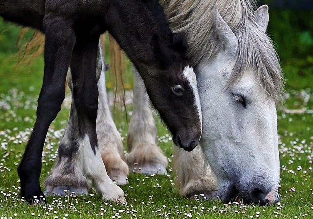 "A week old shire horse foal rubs against her mother at Cornwall's Crealy Adventure Park, near Wadebridge, England, on May 24, 2013. Once a common sight in the UK, shire horses are now classed as ""at risk"" by the Rare Breed Survival Trust. The yet-to-be-named filly foal, bred in a breeding program by the adventure park as part of a endangered species prototection project, will be one of fewer than 300 predicted to be born in England this year. (Photo by Matt Cardy/Getty Images)"