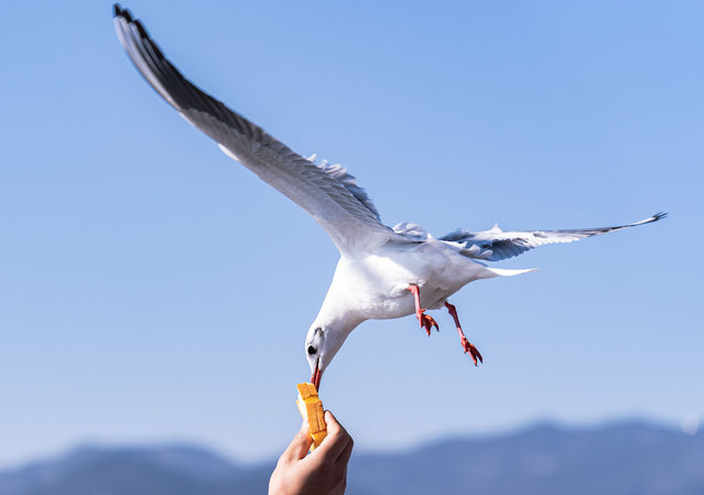 A visitor feeds a black-headed gull at the Haigeng Dam in Kunming, southwest China's Yunnan Province on January 2, 2021. (Photo by Xinhua News Agency/Rex Features/Shutterstock)