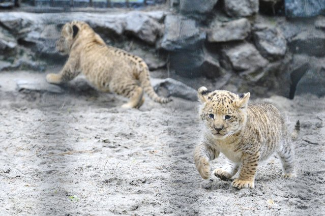 In this Tuesday, June 18, 2013 photo, a month-old liliger cubs walk in Novosibirsk Zoo. The cubs' mother is Zita, a liger – half-lioness, half-tiger, and their father is a lion, Sam. (Photo by Ilnar Salakhiev/AP Photo)