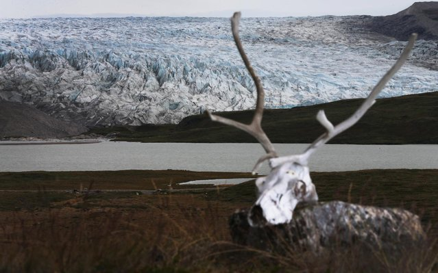 A caribou skull is seen near a glacier on July 11, 2013 in Kangerlussuaq, Greenland. (Photo by Joe Raedle/Getty Images via The Atlantic)