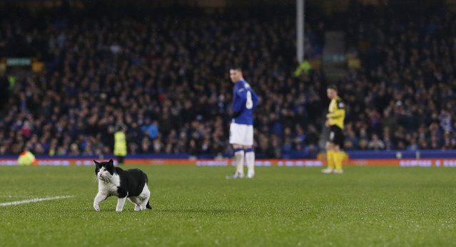 Football Soccer, Everton vs Dagenham & Redbridge, FA Cup Third Round , Goodison Parkon January 9, 2016: A cat on the pitch during the game. (Photo by Lee Smith/Reuters/Action Images)