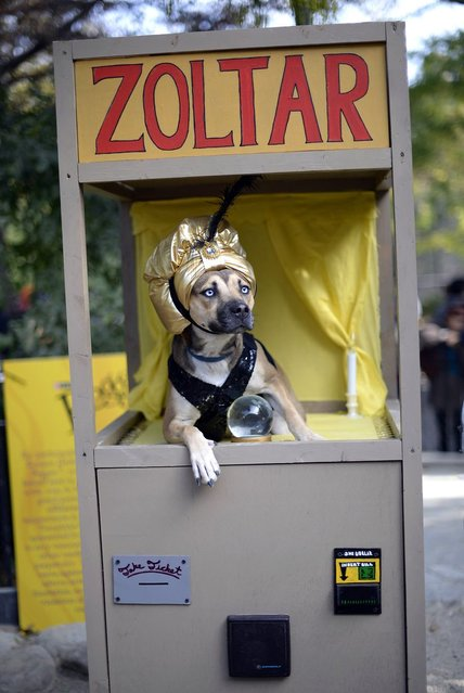 A dog dressed as a Zoltar fortune telling machine participates in the Halloween Dog Parade in New York. (Photo by Timothy Clary/Getty Images)