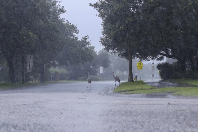 Cranes cross the road during a rainstorm from Tropical Storm Elsa, Wednesday, July 7, 2021 in Westchase, Fla. The Tampa Bay area was spared major damage as Elsa stayed off shore as it passed by. (Photo by Arielle Bader/Tampa Bay Times via AP Photo)