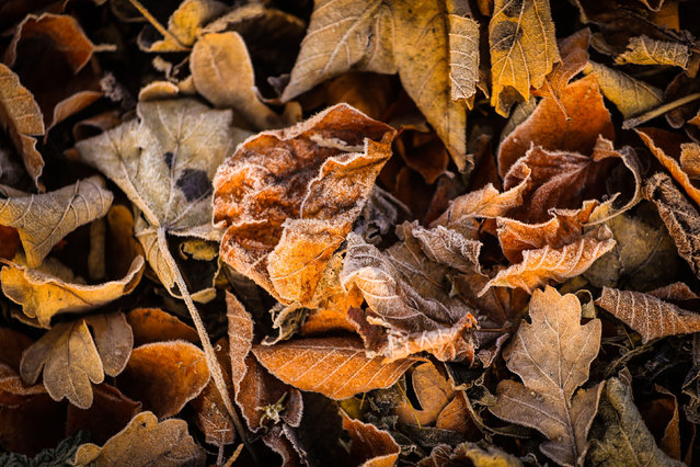 Frost-covered autumn leaves in the early morning in Swillington, West Yorkshire, England on November 18, 2017. (Photo by Danny Lawson/PA Wire)