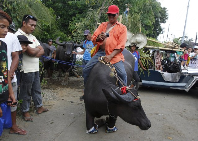 A farmer uses a GoPro as he takes a picture of his carabao kneeling during the annual Carabao Festival in Pulilan, Bulacan in northern Philippines May 14, 2015. (Photo by Lorgina Minguito/Reuters)