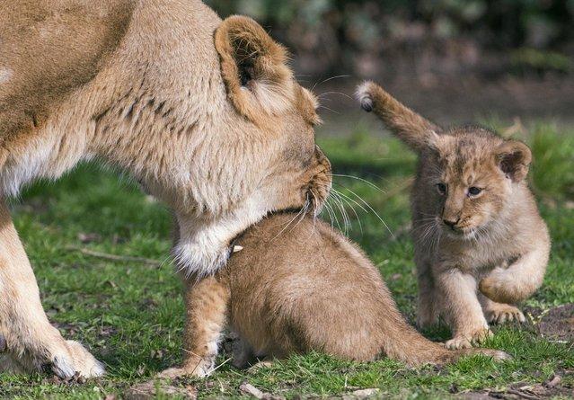 Two Asian lion cubs, born on January 25, 2016, stay next to their mother Lorena while being presented to the public at the Planckendael Park in Mechelen, Belgium March 30, 2016. (Photo by Yves Herman/Reuters)