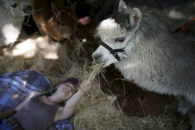 Volunteer assistant of Lisa Vella-Gatt (not pictured), Katharina Bartelmann, feeds alpacas near Benfeita, Portugal May 11, 2015. (Photo by Rafael Marchante/Reuters)