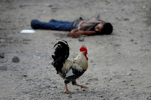A rooster walks past the dead body of an Barrio-18 gang member in San Pedro Sula, Honduras September 28, 2018. (Photo by Goran Tomasevic/Reuters)