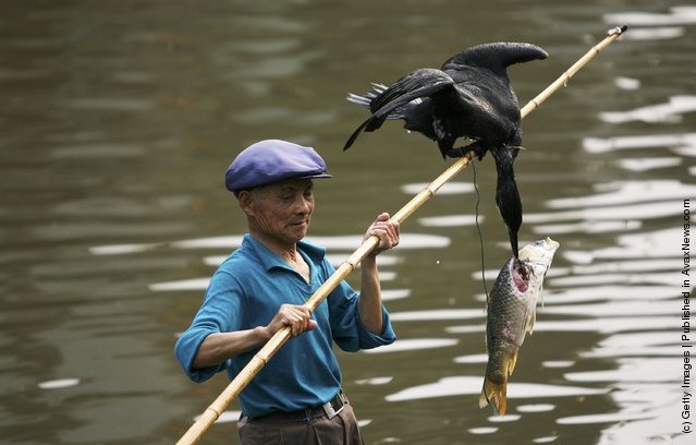 A fisherman catches fish with a cormorant on a canal on April 4, 2006 in ancient Xitang Township of Jiashan City
