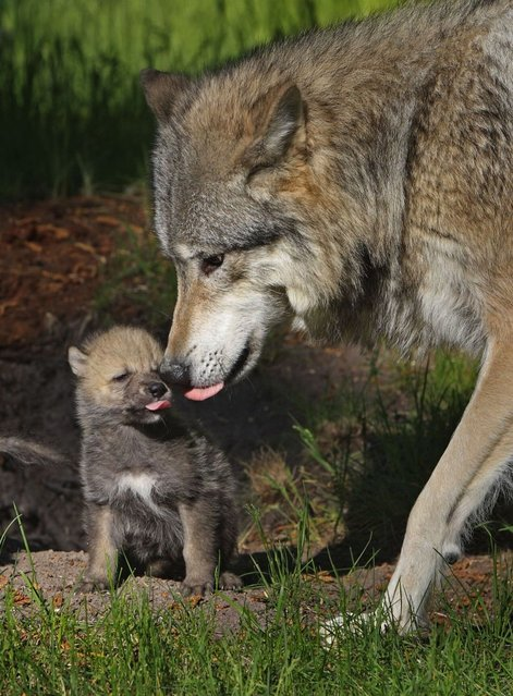 Wolf with her one month old pup. (Photo by Ardea Wildlife Pets Environment/Caters News)