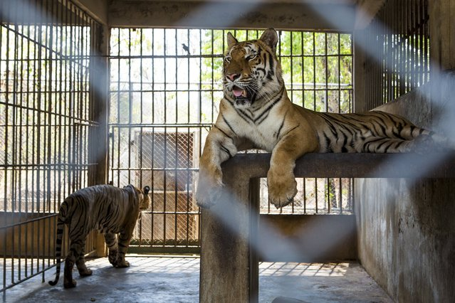 Tigers in an enclosure at Tiger Temple, a Buddhist monastery where paying visitors can interact with young adult tigers, in Kanchanaburi, Thailand, March 16, 2016. (Photo by Amanda Mustard/The New York Times)
