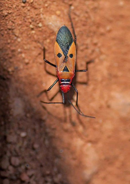 Bug that looks like Elvis Presley. (Photo by Darlyne Murawsk/National Geographic Creative/Caters News)