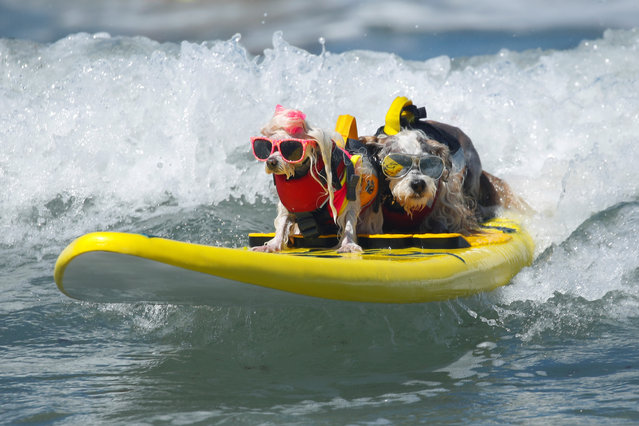 "Prince Dudeman (R) and Flofy ride a wave together as they compete at the 14th annual Helen Woodward Animal Center ""Surf-A-Thon"" where more than 70 dogs competed in five different weight classes for ""Top Surf Dog 2019"" in Del Mar, California, U.S., September 8, 2019. (Photo by Mike Blake/Reuters)"