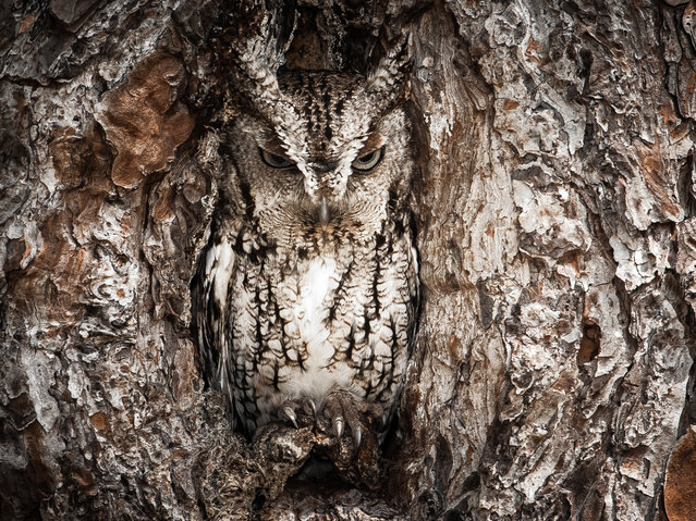 """Winner of the National Park Foundation's photo contest; Honorable Mention: Wildlife. Okefenokee National Wildlife Refuge, Georgia/Florida. """"Camouflaged"""" Eastern Screech Owls like to take over woodpecker nests that have been dug out over the years in pine trees, which are the main species of tree at this swamp. (Photo by Graham McGeorge)"""