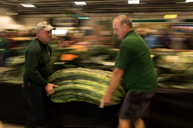 Show staff manoeuvre huge marrows to be weighed in the giant vegetable competition on the first day of the Harrogate Autumn Flower Show held at the Great Yorkshire Showground, in Harrogate, northern England, on September 13, 2019. (Photo by Oli Scarff/AFP Photo)