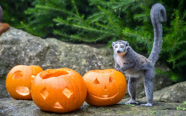 A crowned lemur holds onto carved pumpkins at Bristol Zoo Gardens, Bristol on October 21, 2019, where animals are being given Halloween themed treats filled with their favourite fresh vegetables. (Photo by Ben Birchall/PA Images via Getty Images)