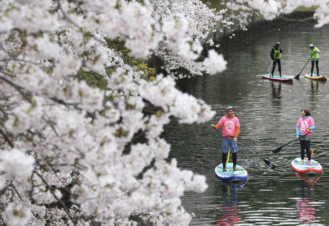 People enjoy stand-up paddle boarding near the blooming cherry blossoms along the Oka River in Yokohama, Monday, April 10, 2017. (Photo by Koji Sasahara/AP Photo)