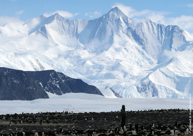 Adelies at Cape Hallett, along the Borchgrevink Coast, Antarctica on November 29, 2009. The Admiralty Mountains can be seen in the distance