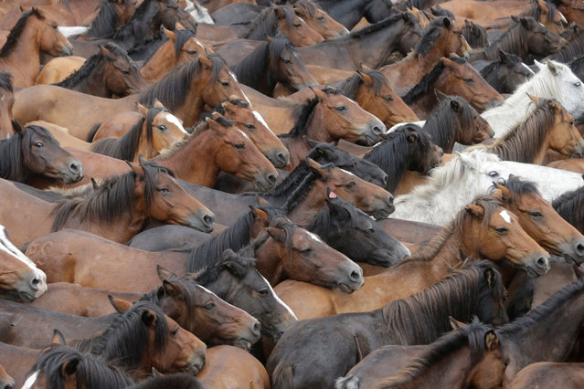 "Wild horses are seen gathered during the ""Rapa das Bestas"" traditional event in the village of Sabucedo, northwestern Spain July 9, 2017. (Photo by Miguel Vidal/Reuters)"