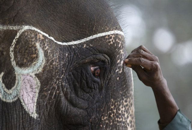 A mahout decorates his elephant using chalk while preparing for the Elephant Festival at Sauraha in Chitwan, south of Kathmandu, December 26, 2014. (Photo by Navesh Chitrakar/Reuters)