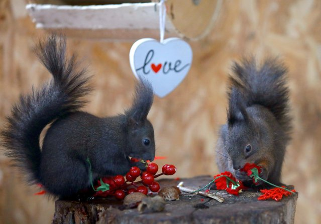Staff at Skopje Zoo organizes a Valentine's day party for the squirrels in Skopje, North Macedonia, February 14, 2020. (Photo by Ognen Teofilovski/Reuters)