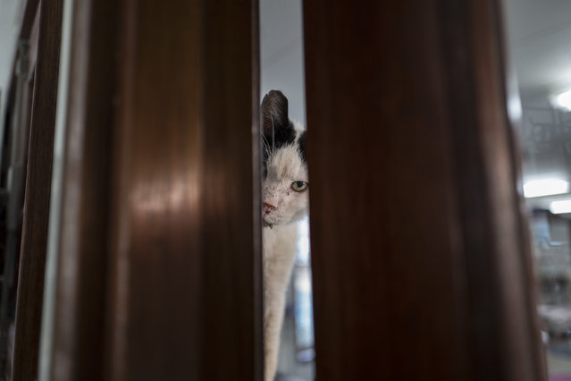 In this Wednesday, August 2, 2017 photo, Koeienkat, a 10-year-old cat peeks through the a door at the Catboat shelter in Amsterdam, Netherlands. In the heart of the Dutch capital, on a canal near one of the busiest shopping streets, a floating animal sanctuary called The Catboat provides refuge for about 50 stray and abandoned felines. (Photo by Muhammed Muheisen/AP Photo)