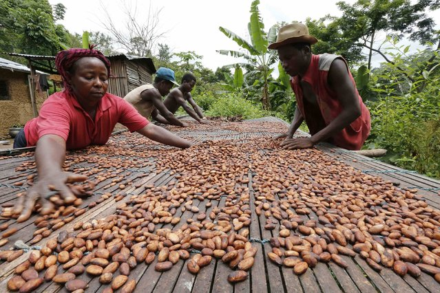 People work with cocoa beans in Enchi June 17, 2014. Picture taken June 17, 2014. Ghana emerged as a success story during the 2000s, when war, political instability and a disastrous liberalization brought Ivory Coast's cocoa sector to its knees. Ghana's output more than tripled from 340,000 tons in the 2001/02 season to a record 1,025,000 tons a decade later. Strict controls cemented its reputation as a producer of top quality beans, establishing a brand that fetches a premium. (Photo by Thierry Gouegnon/Reuters)