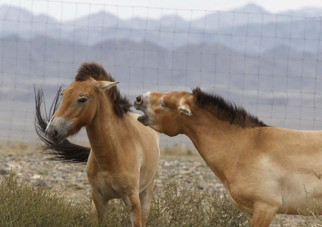 Przewalski horses interact with each other in an acclimatization enclosure after arriving at Takhin Tal National Park in south-west Mongolia, July 18, 2012. The Prague Zoo transported four Przewalski horses to Mongolia as part of its efforts to reintroduce the endangered species into its native environment. (Photo by Petr Josek/Reuters)