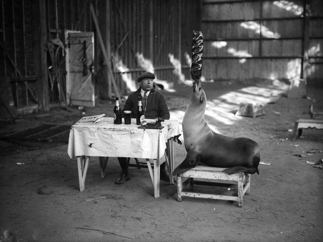 "A performing seal practises one of its feats for the ""crazy restaurant"" routine at the Sangers Circus Revue in Reading. The animal sits at table next to its co-performer and juggles with the food and utensils. 24th March 1932"