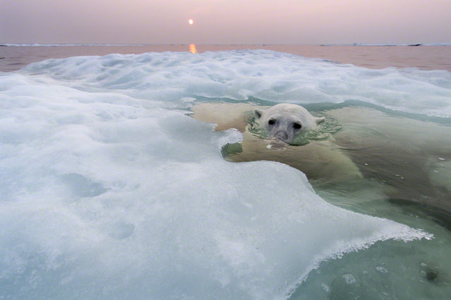 Photographing Polar Bears By Paul Souders