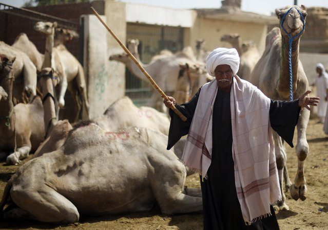 A seller shows his camels to prospective buyers at the Birqash Camel Market, ahead of Eid al-Adha or Festival of Sacrifice, on the outskirts of Cairo September 29, 2014. (Photo by Amr Abdallah Dalsh/Reuters)
