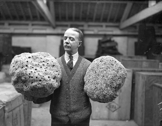 Large honeycombe sponges from the eastern Mediterranean which are going to be on display at a PLA (Port of London Authority) warehouse, 9th March 1933. (Photo by Harry Todd/Fox Photos/Getty Images)