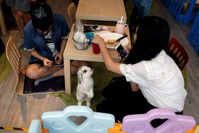 A rabbit looks at a customer at the first rabbit cafe in Hong Kong, China August 25, 2016. (Photo by Bobby Yip/Reuters)