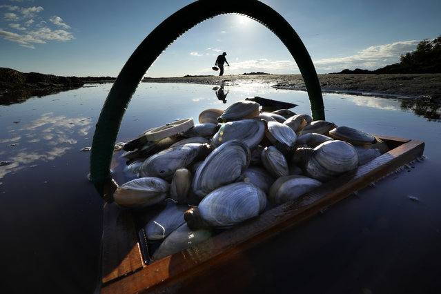 A friend's basket of clams sit in the water as Mike Suprin, of Rollinsford, N.H., calls it a day after filling his basket with soft shells, Friday, September 2, 2016, at Cape Porpoise in Kennebunkport, Maine. (Photo by Robert F. Bukaty/AP Photo)