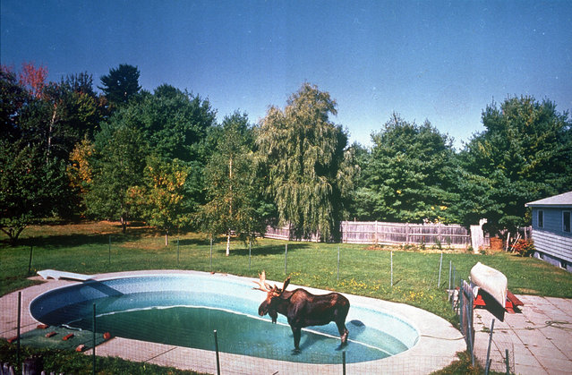 An 800-pound bull moose appears to be relaxing in a swimming pool in Lewiston, Mo., September 29, 1992.  A wildlife official suggested the wild beast was roaming the city because it is mating season. The moose was later tranquilized and taken to a state game farm. (Photo by Ken Love/AP Photo/Sun-Journal)