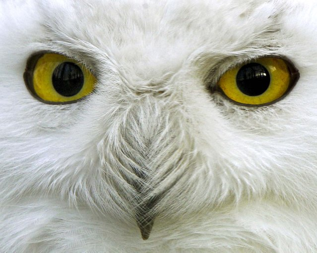 A young snowy owl at the zoo in Krefeld, Germany, January 2, 2013. The species is native to northern Eurasia and North America. (Photo by Roland Weihrauch/Dpa)