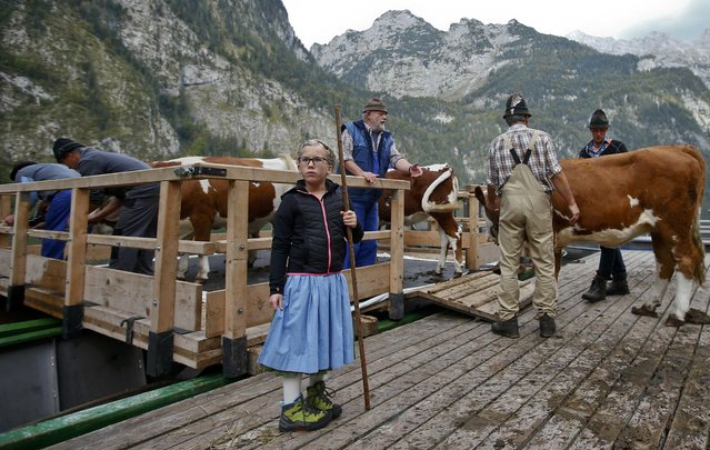 Bavarian farmers load their cows on a boat before they drive over the picturesque Lake Koenigssee, Germany, October 3, 2015. (Photo by Michael Dalder/Reuters)