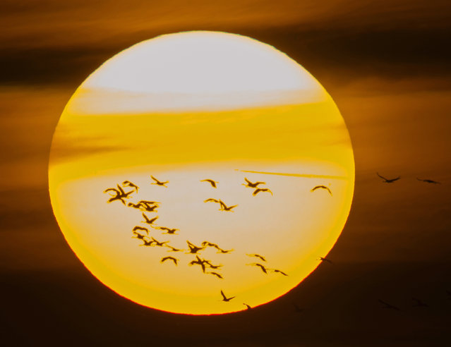 Migrating cranes fly in front of the sun during sunset near Straussfurt, central Germany, Saturday, November 1, 2014. (Photo by Jens Meyer/AP Photo)